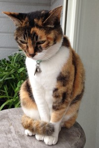 飼い猫を迷い猫にしないために① 猫の首輪と迷子札の重要性